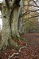 Stunning run of beech trees - geograph.org.uk - 1095117.jpg