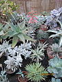 Succulents (4302163878).jpg