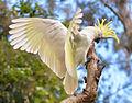 Sulphur-crested cockatoo - Cacatua galerita.JPG