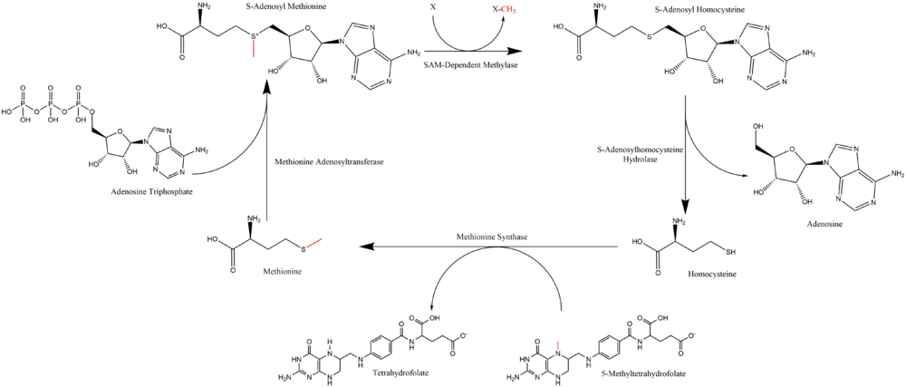 Summary of S-Adenosyl Methionine Regeneration Cycle.png