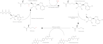 S-Adenosyl methionine - Summary of the S-Adenosyl Methionine cycle with donated methyl group highlighted in red throughout.