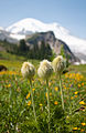 Summerland wildflowers with Mt. Rainier backdrop 01.jpg