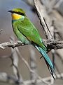 Swallow-tailed bee-eater, Merops hirundineus, at Kgalagadi Transfrontier Park, Northern Cape, South Africa (33691949424).jpg