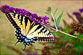 Swallowtails love the Butterfly Garden (7373525610).jpg