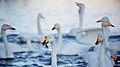 Swans near Bakkestranda.jpg