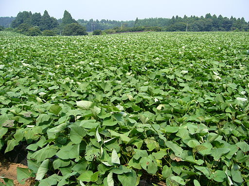 Sweet-potato-field,katori-city,japan
