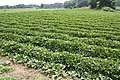 Sweet potato field in Namegata, Ibaraki 02.jpg