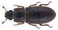 Synchita squamosa (Grouvelle).png