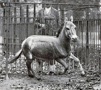 Syrian wild ass - Galloping specimen in Tiergarten Schönbrunn, 1915.