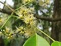 Syzygium hemisphericum flowers at Kottiyoor Wildlife Sanctuary (2).jpg