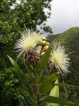 Syzygium jambos - Image: Syzygium jambos