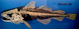 Fish anatomy - Skeletal structure of an Atlantic cod