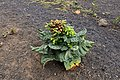 Tabaco plant in Mancha Blanca.jpg