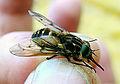 Tabanidae family (8389051212).jpg