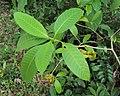 Tabernaemontana alternifolia 24.JPG