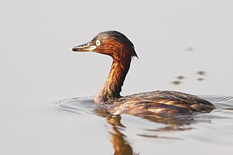 Little grebe - Breeding plumage. Feathers pressed against the body, for low buoyancy.