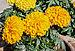 Tagetes erecta 30012013.jpg