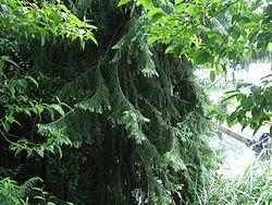Taiwania cryptomerioides, Nantou County, Taiwan 1.jpg