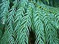 Taiwania cryptomerioides 1.JPG