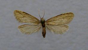 Taleporia tubulosa.male.jpg