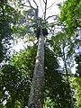 Tapang (Koompassia excelsa) (15607330426).jpg
