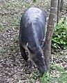Tapir 1 (4385279784).jpg
