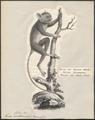 Tarsius fischeri - 1809-1845 - Print - Iconographia Zoologica - Special Collections University of Amsterdam - UBA01 IZ19700145.tif