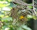 Taveta Golden Weaver Building Nest 001.jpg