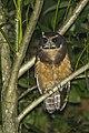 Tawny-browed Owl - Regua - Brazil S4E0721 (12796957675).jpg