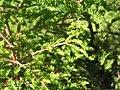 Taxodium distichum 14zz.jpg