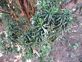Taxus baccata 'hibernica' 02 by Line1.jpg