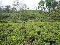 Tea Garden Srimongol Sylhet Bangladesh 2.JPG