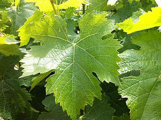 Tempranillo - Tempranillo leaf