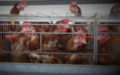 Tesco egg supplier in Thailand - investigation shows hens crammed in battery cages.png