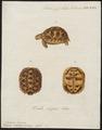 Testudo stellata - 1700-1880 - Print - Iconographia Zoologica - Special Collections University of Amsterdam - UBA01 IZ11600049.tif