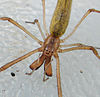 Long-jawed spider