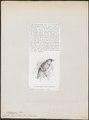 Tetragonops rhamphastinus - 1872 - Print - Iconographia Zoologica - Special Collections University of Amsterdam - UBA01 IZ18800095.tif