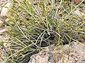 Thamnosma montana form.jpg