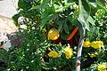 The Flower Fields at Carlsbad Ranch 13 2014-04-28.jpg