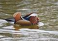 The Mandarin Duck of St. Ferdinand Park (45042685044).jpg