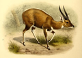 The book of antelopes (1894) Tragelaphus sylvaticus.png