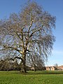 The plane tree on Twyning Green - geograph.org.uk - 294769.jpg