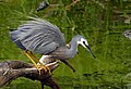 The white-faced heron (Egretta novaehollandiae) (31361445324).jpg