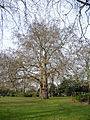 There are many large London Plane trees in Lincoln's Inn Fields..jpeg
