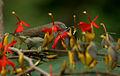 Thick-billed Flowerpecker (Dicaeum agile) on Helicteres isora W2 IMG 1381.jpg