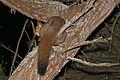 Thick-tailed Bushbaby (Otolemur crassicaudatus) (17115230347).jpg