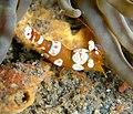Thor amboinensis - Popcorn Shrimp (234709333).jpg