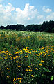Thriving prairie with black-eyed susans (18954863645).jpg