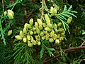 Thuja occidentalis 003.JPG