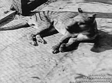 File: Thylacine footage compilation.ogv